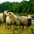 Organic Farming: Sheep